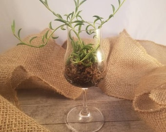 String of Bananas in Decorative Glass, Senecio Radicans, Succulent Display, Mini Arrangement