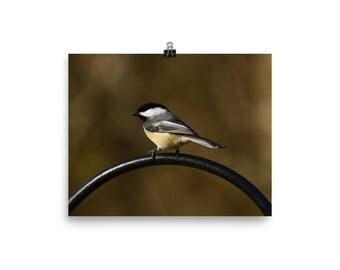 Black Capped Chickadee, Chickadee, Bird, Nature wall art, Wildlife print