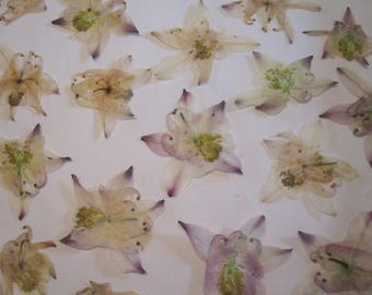 Dried Pressed Flowers for Crafting - Natural Pinkish White Columbines