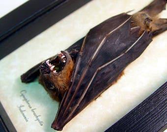 Real Framed Taxidermy Bat-Cynopyerus Brachyotis Male Lesser Short Nose Fruit Bat B1345