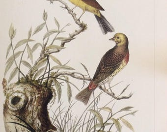 Yellowhammer by Jan Sepp, 1990s Reproduction Colorplate, Bird Print, Ornithology Print, Unframed Book Page Print