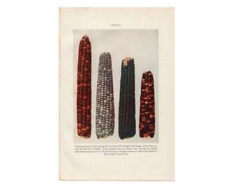 c. 1934  CORN EARS PRINT - vintage botanical print - plant print - old  print - vintage lithograph of flora - color patterns of corn