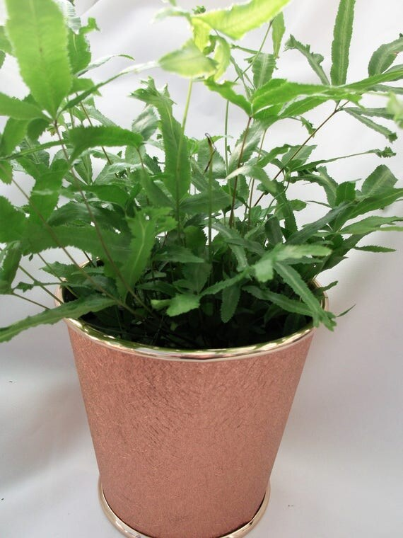 Tropical fern in copper gold pot cover on special sale will make a great presentation