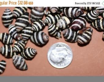 "15% OFF 50) Bumble Bee shells, 1/4"" sea shells, sailor valentine small sea shells, sailor valentine shells,free shipping, Bumble Bee sea she"