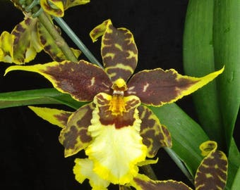 Starter kit - 3 different oncidium orchid seedlings, 1 low price - FREE shipping