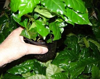 Mini coffee plantation - 4 plants, grow your own beans