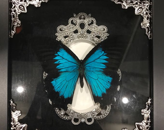 Beautiful blue and black swallow tail butterfly taxidermy display