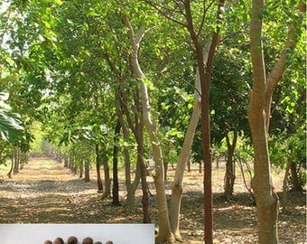 50 Fresh seeds of Precious Santalum Album Indian Sandalwood  Tree for Growing