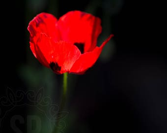 Red Poppy Fine Art Photographic Print. Mounted ready for you to frame.