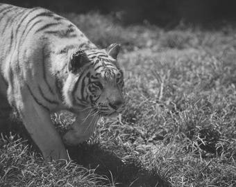 Black and White Siberian Tiger - Tigers Wildlife Animal Print Photography Fine Art Print