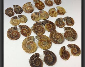Ammonites from Madagascar/ 13 pairs/ 19 to 30mm long (#bm-6)