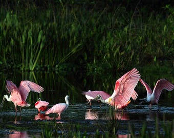 Spoonbills Lake Florida Bird Photography Colorful and pink wall decor