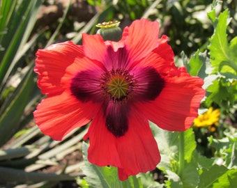 Original Photograph of Ornamental Poppy by Darleen Lynde
