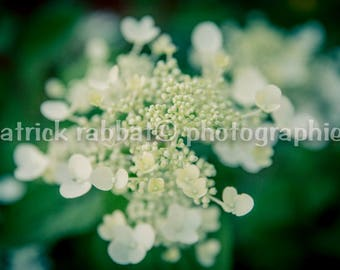 Romantic Flowers In Bloom Photo Instant Digital Download Fine Art Photography Macro Close-Up Green White Flower Photography Summer Blooms