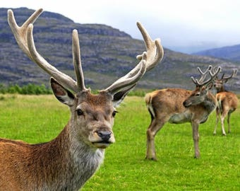 Laminated placemat deer