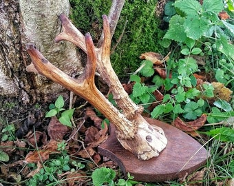 Real stag antlers, roe deer antlers, mounted antlers, Horned God pagan altar,  wiccan altar decor, genuine stag antler, cabin style home