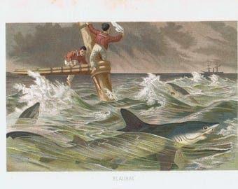 Antique print blue shark 1892