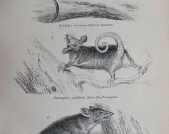 antique etc opossum mouse like phalangista  spiny bandicoot marsupialia 1880