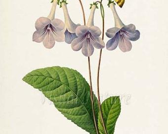 Gloxinia Flower Art Print, Botanical Art Print, Flower Wall Art, Flower Print, Floral Print, Butterfly,Redoute Art, purple, yellow, Gloxinia