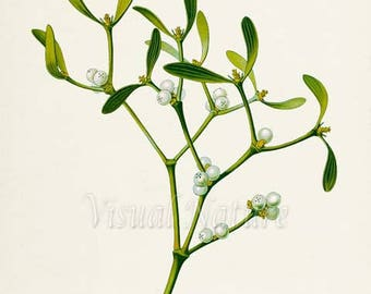 European Mistletoe Art Print, Botanical Art Print, Wall Art, Botanical Print, Mistletoe art print, white