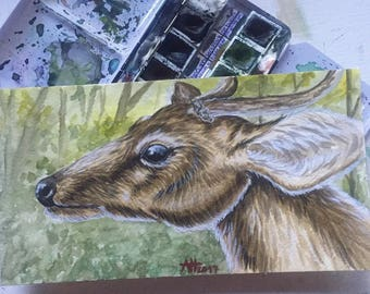Roebuck watercolor