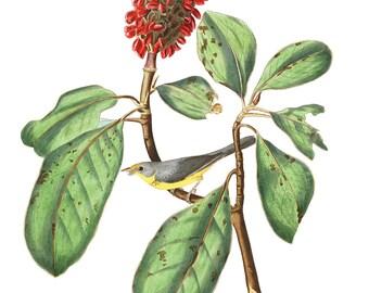 Audubon's Plate 5 Bonaparte's Flycatcher Cross Stitch Pattern