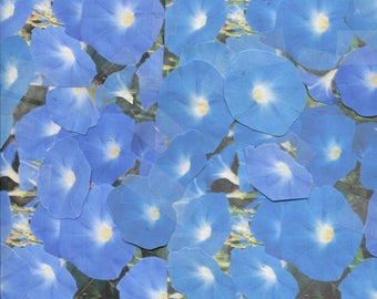 100 ...Med. blue ...Heavenly Blue ... morning glory seeds ... ready for spring 2018 planting ... check - out free seeds ...