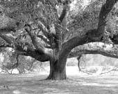 """Tree photo print, black and white art, live oak picture, Georgia photography, large wall decor, paper or canvas, 5x7 8x10 to 30x45 32x48"""""""