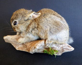 TAXIDERMY Baby Wild Rabbit (no.21) Mounted On Driftwood. Total Length Including Wood 23cm. Small Mammal.