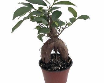 "Chinese Banyan Tree - Green Island Weeping Fig Tree - Ficus - 4"" Pot"
