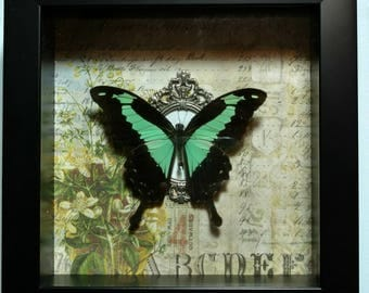 REAL Framed Papilio Phorcas, Mint Swallowtail, Butterfly from the Republic of Central Africa
