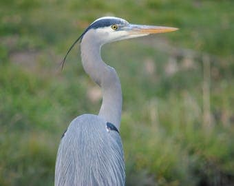 Great Blue Heron - Stock Photography, Digital Download, Photograph, Nature