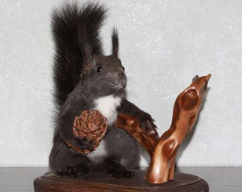 Siberian Grey Squirrel - Taxidermy Mount, Stuffed Animal For Sale - Gray Squirrel - ST3998