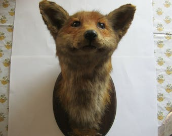 Stuffed Fox head, shot December 1929 good Wulf village Germany, Hunter M. Münster, height ca. 33 cm, width 18 cm