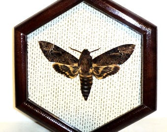 Real moth framed DEATH'S HEAD Moth in the movie silence of the lambs!!!
