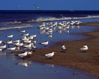 Digital photograph:  Seagulls on the beach at Tybee Island, Georgia