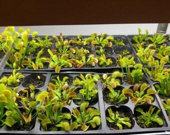 Seed grown Venus Flytraps.