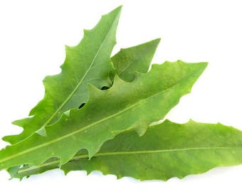 Organic Dandelion Leaf- Herbal Oil / Apply Directly onto Skin Or add to Your Favorite Formula!