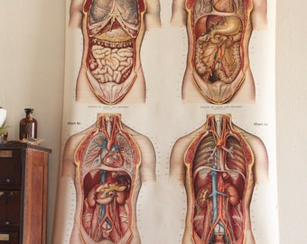 Vintage 1920's American Frohse Anatomical Chart