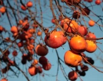 TreesAgain Potted Japanese Persimmon Tree - Diospyros kaki - 5 to 10+ inches