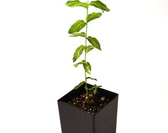 TreesAgain Potted Hakuro Nishiki Japanese Dappled Willow - Salix integra - 10+ inches (See State Restrictions)