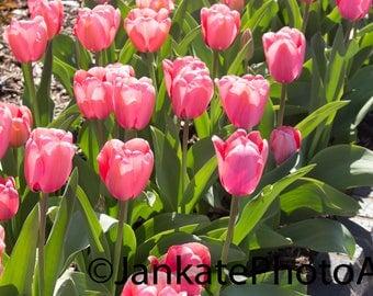Metal print, metal, garden, pink tulips, Shaw's Garden, flower, tulips, art, canvas