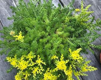 Flowering Sedum grass - Stonecrop - Succulent creeping plant