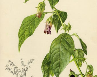 Vintage lithograph of the belladonna or deadly nightshade from 1955