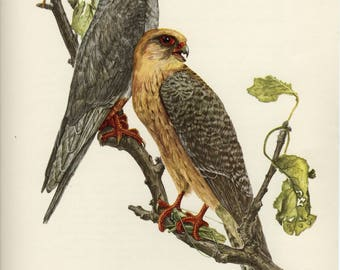 Vintage lithograph of the red-footed falcon or western red-footed falcon from 1953