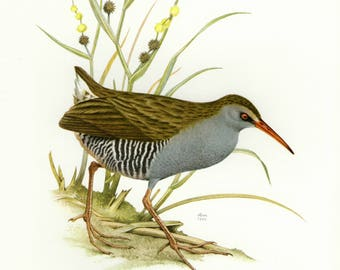Vintage lithograph of the water rail from 1956
