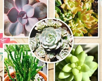 Succulent leaves/leaves for propagation/succulent plants/Gift/succulents