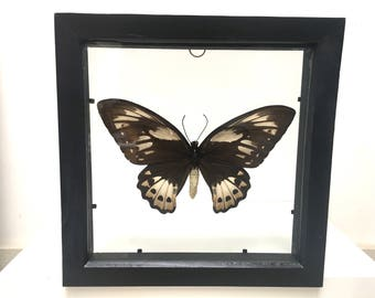 Ornithoptera Priamus Poseidon Female Butterfly/Insect/Taxidermy/Lepidoptera.