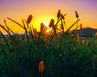 Poppies and sunset