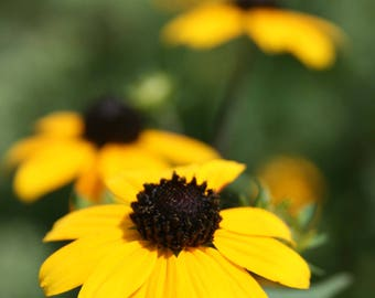 Beautiful Black Eyed Susan Flower Photography Print Digital Download